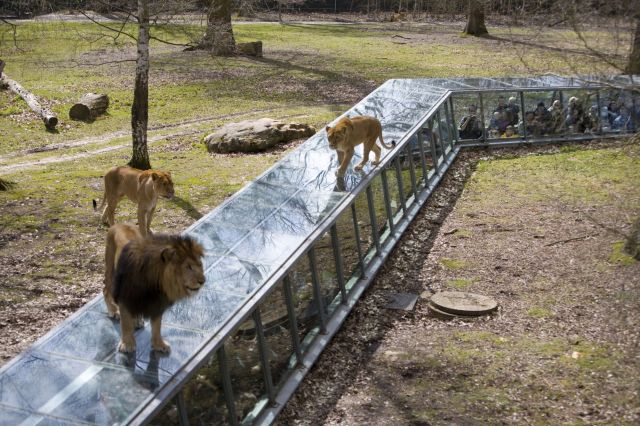 zoo thoiry lions