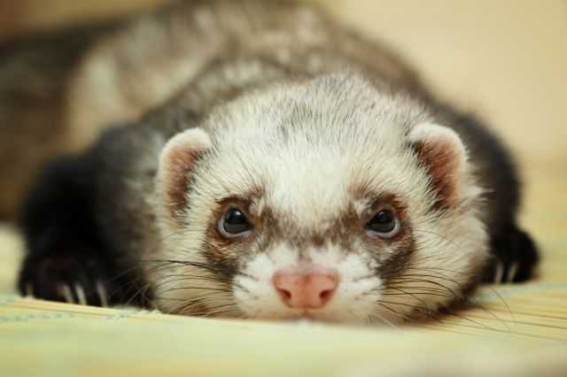 furet animal compagnie couverture