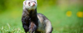 furet animal pelouse herbe