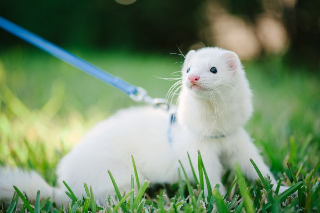 furet animal blanc pelouse herbe