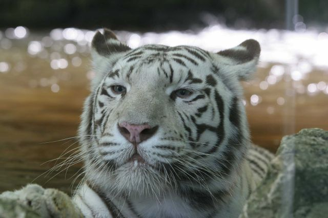 tigre blanc zoo beauval