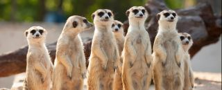 suricate groupe clan