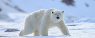 ours blanc neige