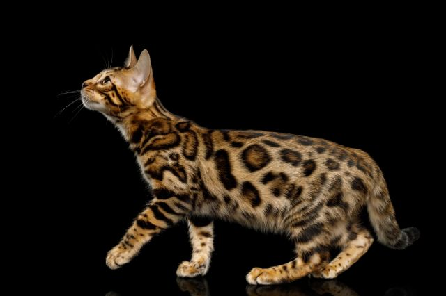 Toyger chat