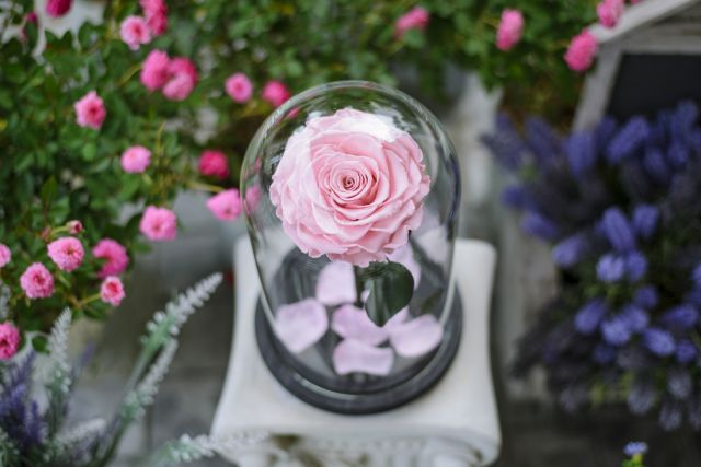 rose sous dome verre