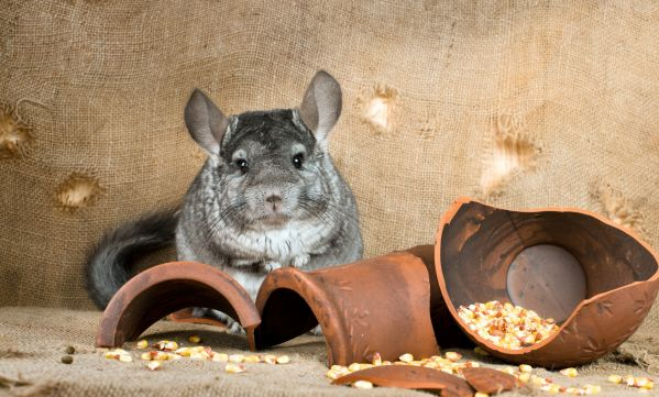 5 choses à savoir avant d'adopter un Chinchilla