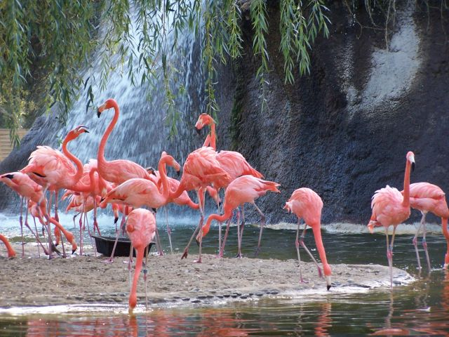 Flamant rose zoo palmyre