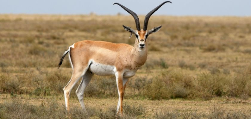 antilope animal rapide