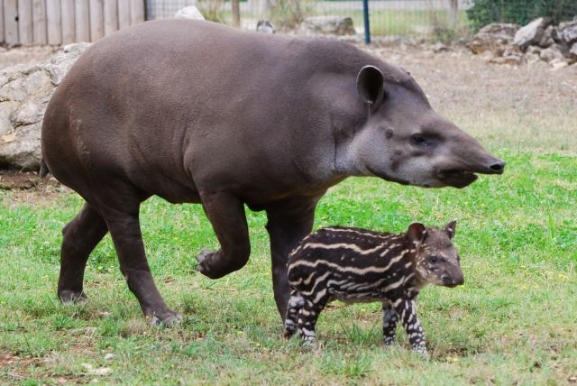 tapir parent bebe zoo