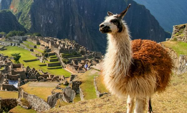 Le lama, animal symbole des Incas