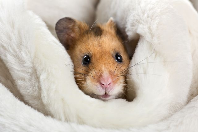 hamster couverture