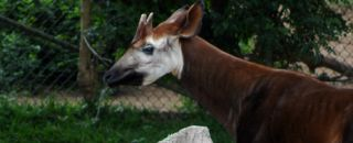 okapi animal