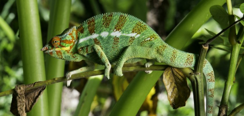 cameleon reptile expert camouflage